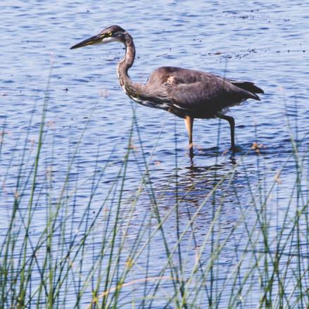 Blue Heron - Milton VT