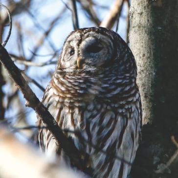 Barred Owl - Swanton VT